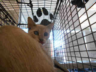 Mix-Bred DOMESTIC SHORTHAIR Female  Young  Kitten #A352008#  - click here to view larger pic
