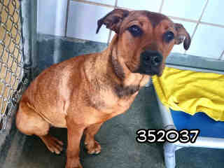 Mix-Bred SHEPHERD Female  Adult  Dog #A352037#  - click here to view larger pic