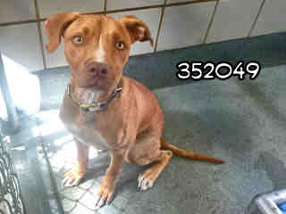 AMERICAN STAFFORDSHIRE TERRIER Male  Young  Puppy #A352049#  - click here to view larger pic