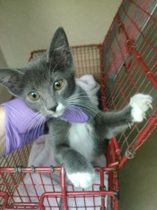 Mix-Bred DOMESTIC SHORTHAIR Female  Young  Kitten #A352059#  - click here to view larger pic