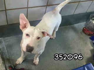 Mix-Bred AMERICAN STAFFORDSHIRE TERRIER Male  Young  Puppy #A352096#  - click here to view larger pic