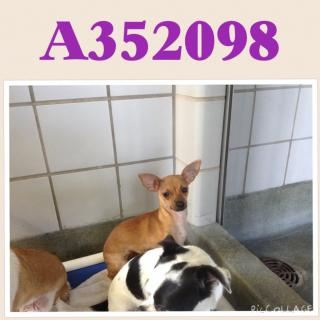 Mix-Bred CHIHUAHUA - SMOOTH COATED Female  Adult  Dog #A352098#  - click here to view larger pic