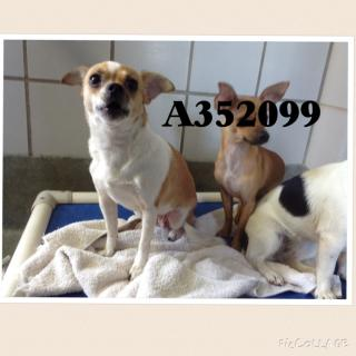 Mix-Bred CHIHUAHUA - SMOOTH COATED Female  Adult  Dog #A352099#  - click here to view larger pic