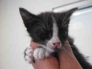 Mix-Bred DOMESTIC SHORTHAIR Male  Young  Kitten #A352109#  - click here to view larger pic