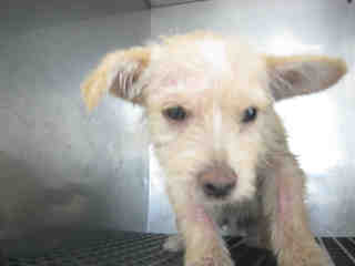 Mix-Bred TERRIER Female  Young  Puppy #A352134#  - click here to view larger pic