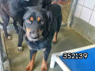 Mix-Bred SHEPHERD Female  Adult  Dog #A352139#  - click here to view larger pic