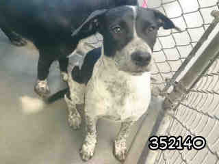 GERMAN SHORTHAIRED POINTER Female  Young  Puppy #A352140#  - click here to view larger pic