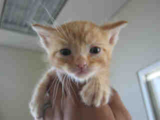 Mix-Bred DOMESTIC SHORTHAIR Male  Young  Kitten #A352162#  - click here to view larger pic