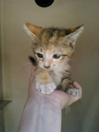 Mix-Bred DOMESTIC MEDIUMHAIR Female  Young  Kitten #A352212#  - click here to view larger pic