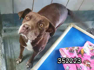 Mix-Bred LABRADOR RETRIEVER Female  Adult  Dog #A352223#  - click here to view larger pic