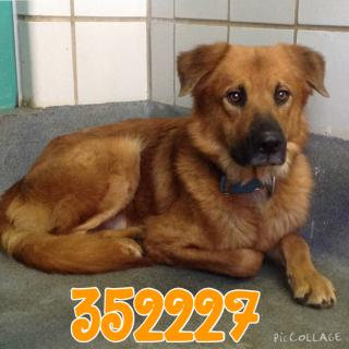 Mix-Bred CHOW CHOW Male  Adult  Dog #A352227#  - click here to view larger pic
