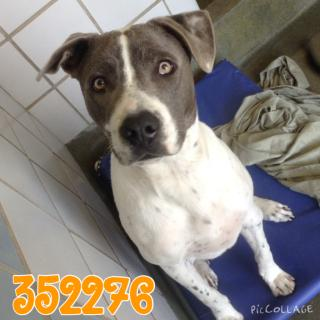 Mix-Bred PIT BULL TERRIER Male  Adult  Dog #A352276#  - click here to view larger pic
