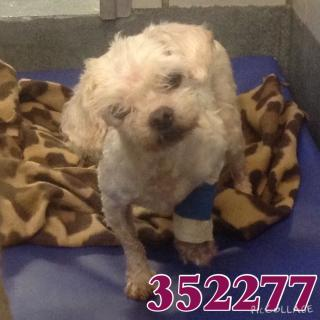 Mix-Bred MALTESE Female  Older  Dog #A352277#  - click here to view larger pic