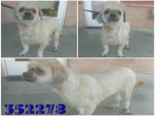 Mix-Bred TERRIER Male  Adult  Dog #A352278#  - click here to view larger pic
