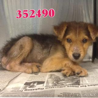 Mix-Bred GERMAN SHEPHERD DOG Female  Adult  Dog #A352306#  - click here to view larger pic