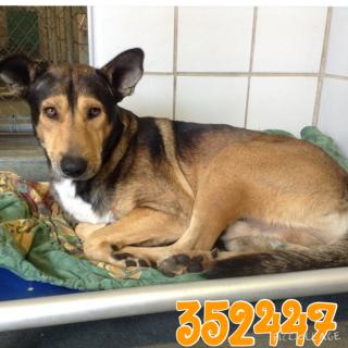 Mix-Bred GERMAN SHEPHERD DOG Male  Adult  Dog #A352447#  - click here to view larger pic