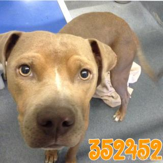 Mix-Bred AMERICAN STAFFORDSHIRE TERRIER Male  Young  Puppy #A352452#  - click here to view larger pic