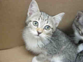 Mix-Bred DOMESTIC SHORTHAIR Female  Young  Kitten #A352459#  - click here to view larger pic