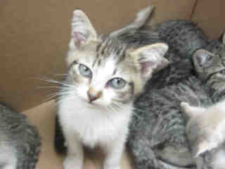 Mix-Bred DOMESTIC SHORTHAIR Male  Young  Kitten #A352460#  - click here to view larger pic