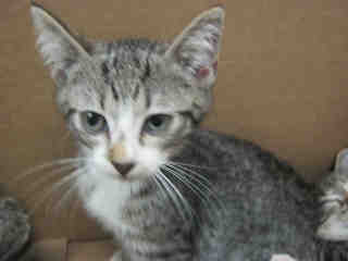 Mix-Bred DOMESTIC SHORTHAIR Male  Young  Kitten #A352461#  - click here to view larger pic