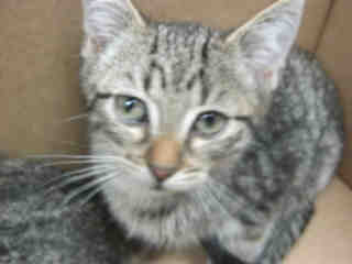 Mix-Bred DOMESTIC SHORTHAIR Male  Young  Kitten #A352462#  - click here to view larger pic