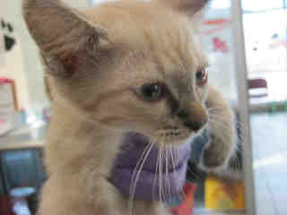 SIAMESE Female  Young  Kitten #A352463#  - click here to view larger pic