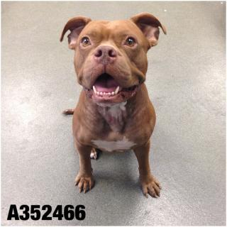 Mix-Bred AMERICAN STAFFORDSHIRE TERRIER Female  Adult  Dog #A352466#  - click here to view larger pic