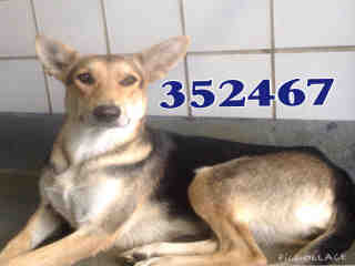 Mix-Bred GERMAN SHEPHERD DOG Female  Adult  Dog #A352467#  - click here to view larger pic