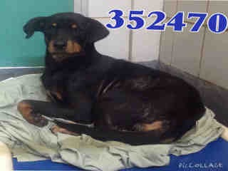 Mix-Bred SHEPHERD Female  Adult  Dog #A352470#  - click here to view larger pic