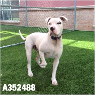 Mix-Bred AMERICAN STAFFORDSHIRE TERRIER Male  Young  Puppy #A352488#  - click here to view larger pic