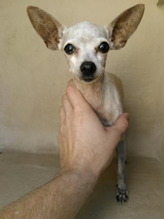 <u>CHIHUAHUA - SMOOTH COATED Female  Older  Dog </u>