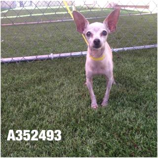 CHIHUAHUA - SMOOTH COATED Female  Older  Dog #A352493#  - click here to view larger pic