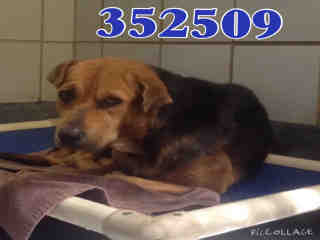 Mix-Bred SHEPHERD Female  Adult  Dog #A352509#  - click here to view larger pic