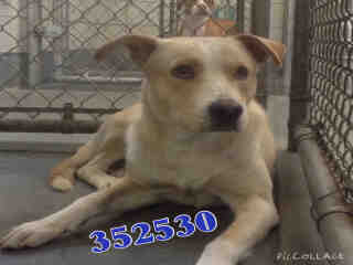 Mix-Bred SHEPHERD Male  Adult  Dog #A352530#  - click here to view larger pic