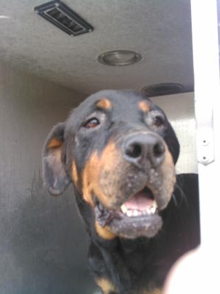 <u>ROTTWEILER Female  Adult  Dog </u>