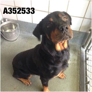 ROTTWEILER Female  Adult  Dog #A352533#  - click here to view larger pic