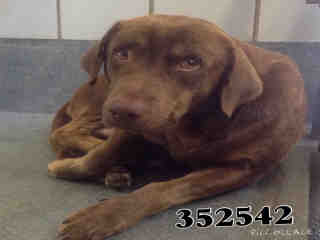 LABRADOR RETRIEVER Male  Adult  Dog #A352542#  - click here to view larger pic
