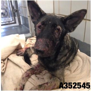 Mix-Bred GERMAN SHEPHERD DOG Female  Adult  Dog #A352545#  - click here to view larger pic