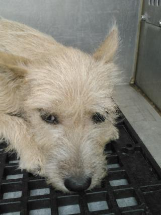 Mix-Bred TERRIER Female  Young  Puppy #A352548#  - click here to view larger pic