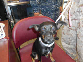 CHIHUAHUA - SMOOTH COATED Female  Young  Puppy #A352566#  - click here to view larger pic
