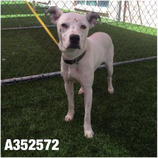 Mix-Bred BOXER Female  Adult  Dog #A352572#  - click here to view larger pic