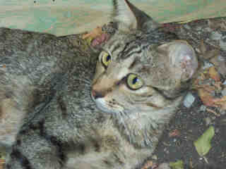 Mix-Bred DOMESTIC SHORTHAIR Female  Young  Kitten #A352591#  - click here to view larger pic