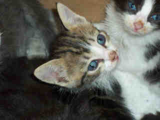 Mix-Bred DOMESTIC SHORTHAIR Female  Young  Kitten #A352599#  - click here to view larger pic