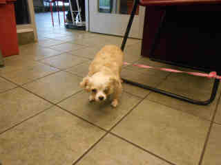 CHIHUAHUA - LONG HAIRED Male  Young  Puppy #A352602#  - click here to view larger pic