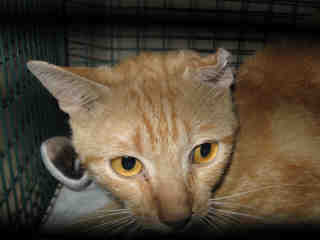 Mix-Bred DOMESTIC SHORTHAIR Male  Young  Kitten #A352608#  - click here to view larger pic