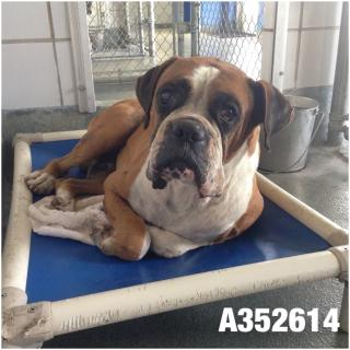 Mix-Bred BOXER Male  Adult  Dog #A352614#  - click here to view larger pic