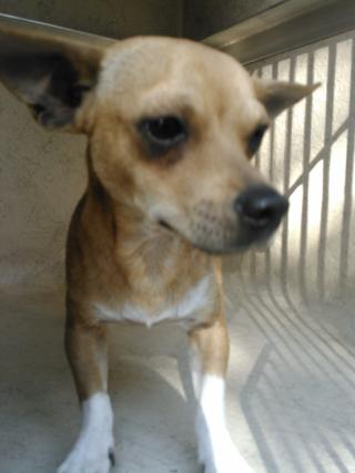 CHIHUAHUA - SMOOTH COATED Male  Young  Puppy #A352622#  - click here to view larger pic