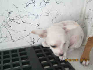 CHIHUAHUA - SMOOTH COATED Male  Young  Puppy #A352628#  - click here to view larger pic