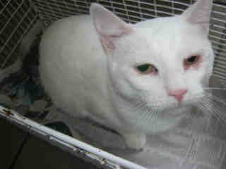 Mix-Bred DOMESTIC SHORTHAIR Female  Adult  Cat #A352639#  - click here to view larger pic