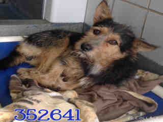Mix-Bred AUSTRALIAN TERRIER Male  Young  Puppy #A352641#  - click here to view larger pic